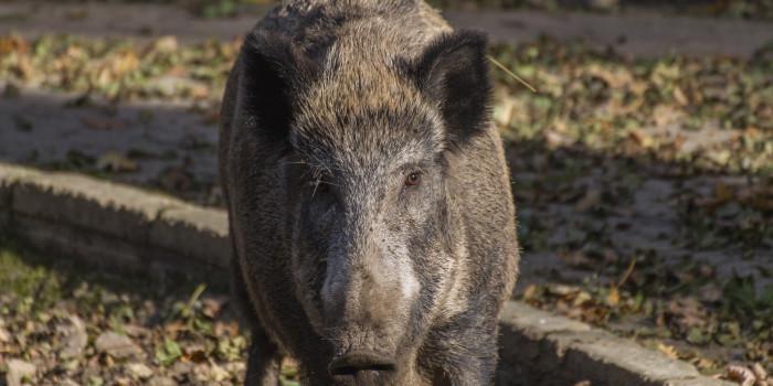 Wildschwein auf Abwegen: Mehrere Unfälle und Pizzeriabesuch in Dotzheim