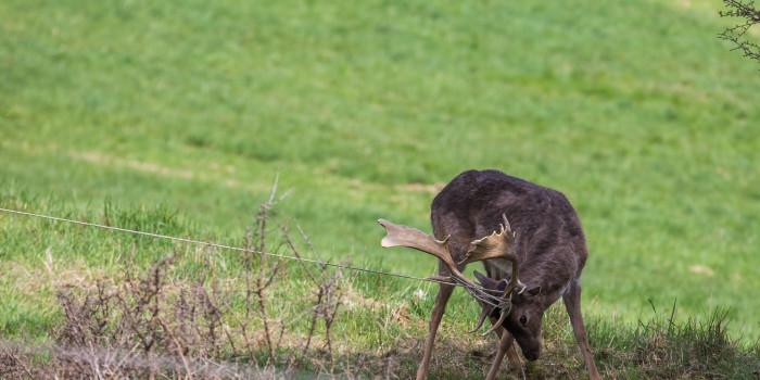 Tierrettung in Bad Schwalbach: Hirsch verfängt sich in Seilen